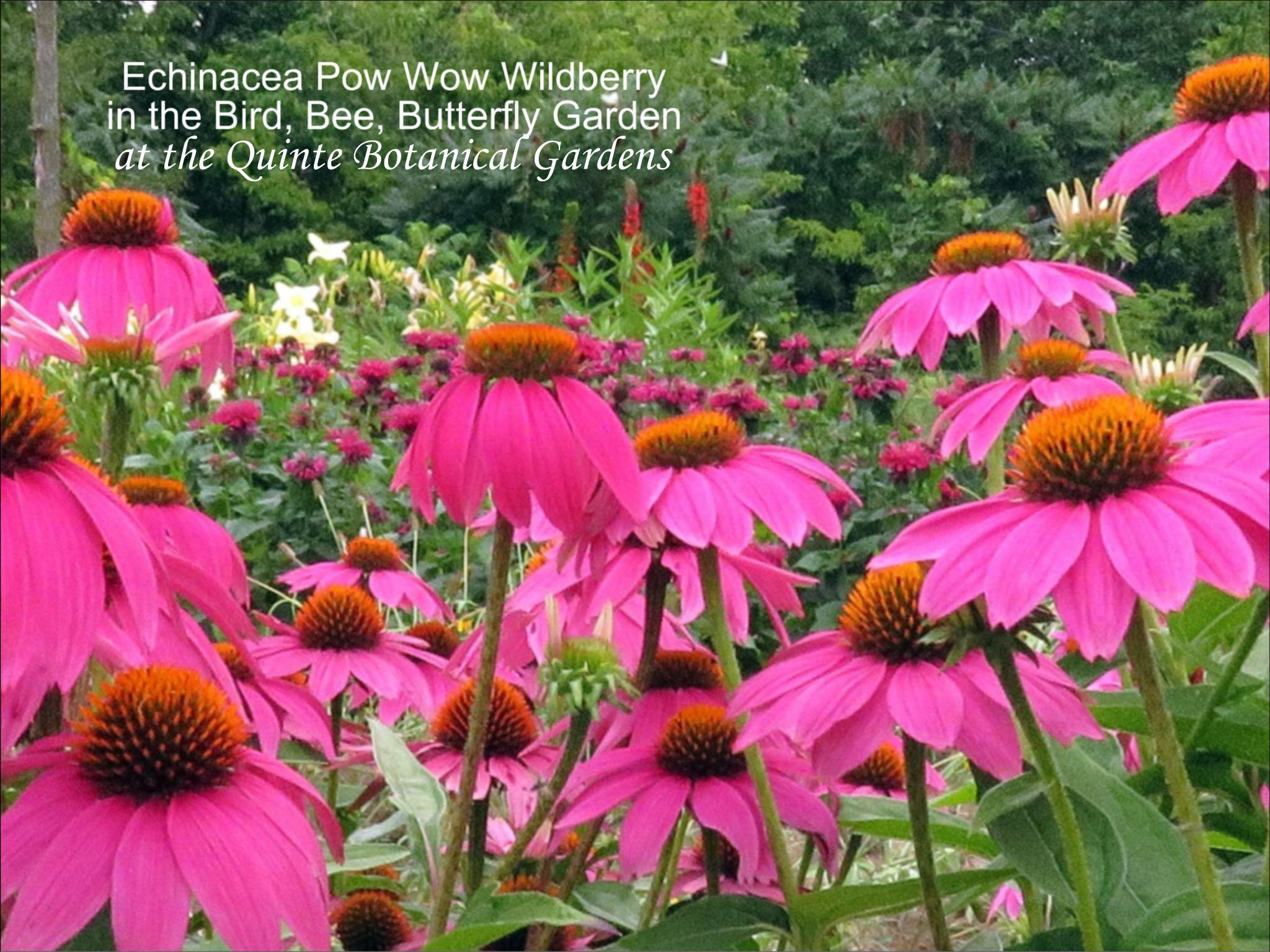 Echinacea Pow Wow Wilberry